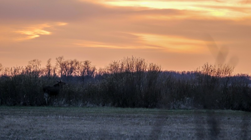 moose-in-sunset-2