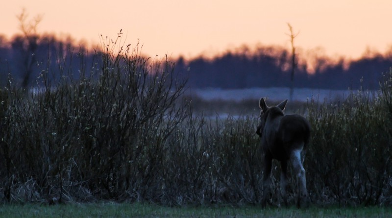 moose-in-sunset