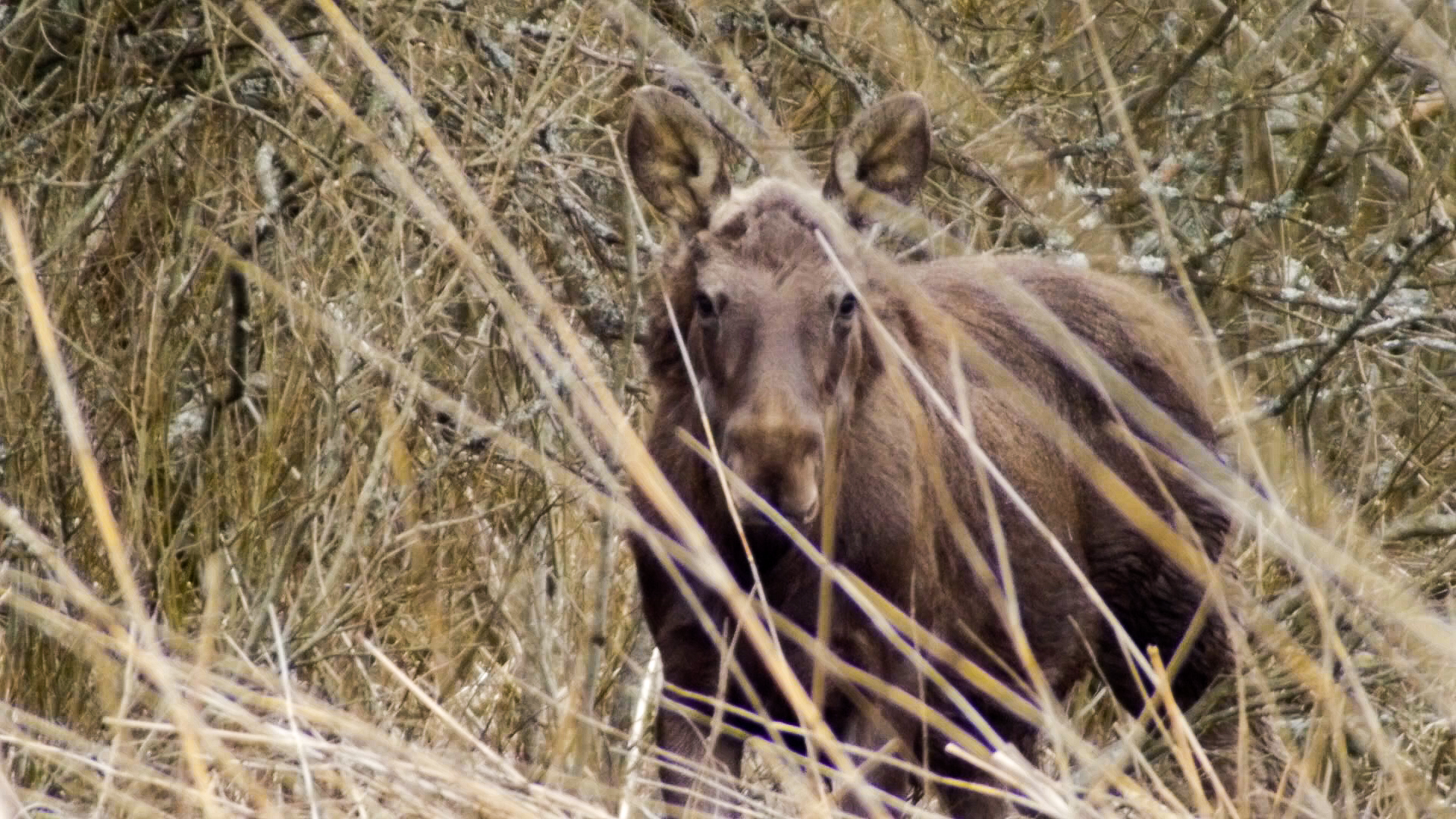 moose-looking2